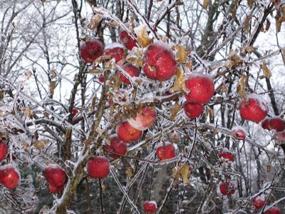 Frozenapples1_2
